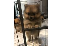 Beautiful Pomeranian Puppies for Sale!!