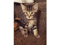 9 week old male kitten