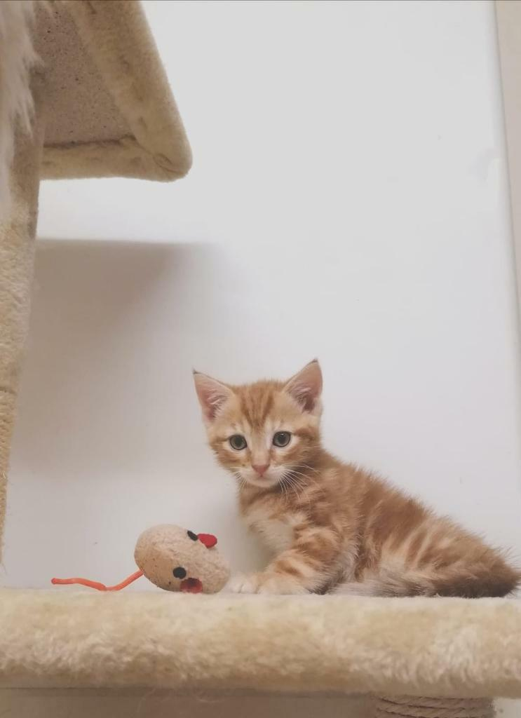 Gorgeous Kitten For Sale Can Deliver In South Gyle Edinburgh Gumtree