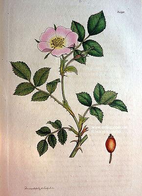 Sowerby Rose Rosa micrantha Kupferstich Copper engraving altkoloriert 1812