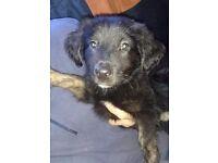 One female lab x alsation pup