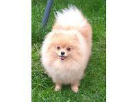 pomeranian puppy boy