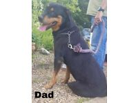Male Rottweiler Puppies