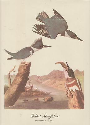 Audubon Art Print  Belted Kingfisher Best Loved Series 9