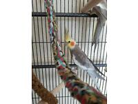 Beautiful Hand reared male and female Cockatiel & medium parrot cage on stand and wheels