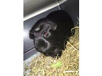 Guinea Pig free to loving home
