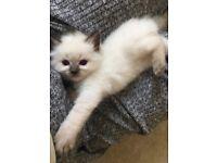 Beautiful Ragdoll kitten for sale - ONE MALE LEFT