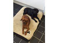 2 beautiful girl Labrador cross King Charles ❤️