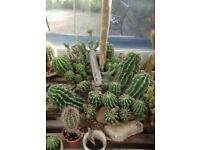 Large bundle of cactus around 25