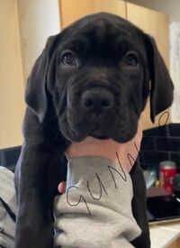 Cane corso/Italian mastiff puppies