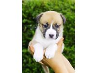 BOXSKY rare HUSKY X BOXER tri colour ONLY 3 PUPS remaining.