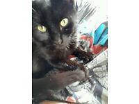 Black male cat - neutered