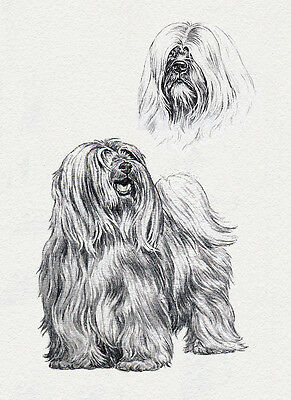 TIBETAN TERRIER CHARMING DOG GREETINGS NOTE CARD LOVELY DOG & HEAD STUDY SKETCH