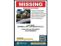 Missing LOST green cheek conure PARROT / BIRD