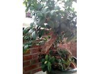 Bonsai Elm tree