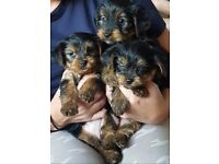 "Gorgeous ""Teddy Bear"" Yorkshire Terrier Puppies For sale £400"