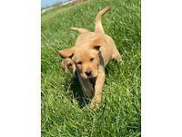 Stunning Red Fox Labrador Boys For New Loving Homes