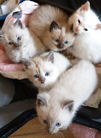 5 Beautiful 3/4 ragdoll kittens