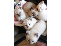 5 Beautiful 3/4 ragdoll kittens