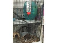 Two Female degus and equipment