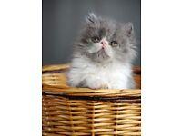 open for reserve Persian kittens GCCF Registered