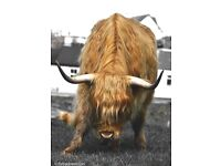 Highland Cow large Canvas