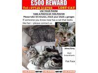 Missing Silver Grey and Black cat. £500 Reward