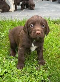 Sprocker spaniel puppies for sale (Springer x Cocker)