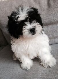 Shihpoo pups boys only ready now