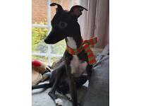 3 year old whippet for sale