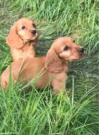Adorable cocker spaniel puppies!!