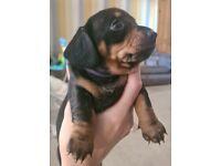 miniature dachshund puppy 1 girl left