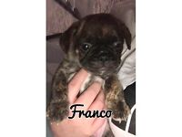 Frug puppies