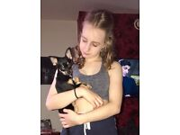 Stunning miniature Chihuahua puppy/ dog will be 1 in July