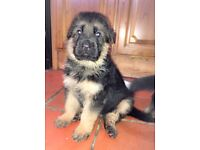 Quality German Shepherd Pups For Sale