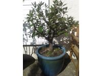 Bay Leaf Plant in Very Ornate Pot ~ Delivery Possible