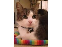 Missing our lovely cat Basil male white and brown/grey tabby, petite frame
