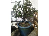 Large Bay Leaf Plant in Ornate Pot