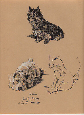 c. aldin original 1935 illustration  of  a  cairn - sealyham and bull terrier