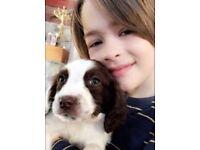 English Springer Spaniel puppies - KC Registered