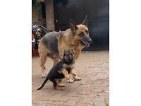 Beautiful German Shepherd Pups For Sale for £1250!