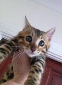 Bengal Kitten 😺