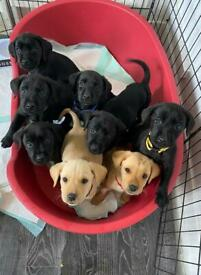 READY TO GO !!!! LABRADOR KC 5 GENERATIONS PUPS FOR SALE!!!