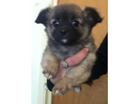 Beautiful long coat chihuahua puppy females for sale