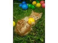 Gorgeous BSH X RAGDOLL Male Kittens