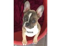 KC Reg French Bulldog pups for sale