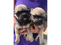 Pug puppies 3 girls and one boy