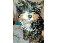 miniature yorkshire terrier puppies kc reg