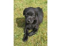 KC registered Black Labrador Puppies - only 1 left