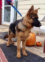 Pure Bred German Shepherd for sale